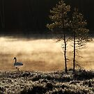 25.4.2015: Swan at Pond II by Petri Volanen