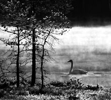25.4.2015: Swan at Pond III by Petri Volanen