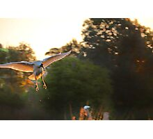 Flight of The Concords ( Duck) Photographic Print