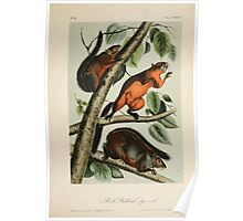 James Audubon - Quadrupeds of North America V1 1851-1854  Red Bellied Squirrel Poster