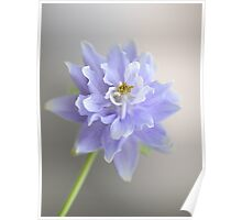 Soft on Aquilegias  Poster