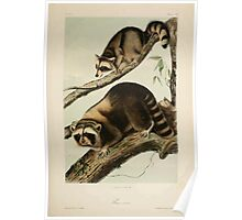 James Audubon - Quadrupeds of North America V2 1851-1854  Raccoon Poster