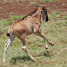 Wildebeest on the Run, Ngorongoro Crater, Tanzania  by Adrian Paul