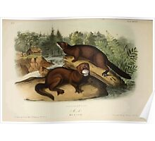 James Audubon - Quadrupeds of North America V1 1851-1854  Mink Poster