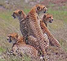 On the Lookout. The cheetah family.  Serengeti National Park, Tanzania by Adrian Paul