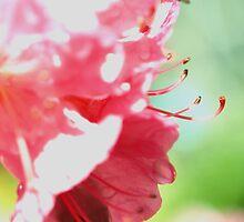 Azalea 1 by David Sandilands