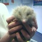 "Rescued Hedgehog ""Safe At Last"" by UrsulaDee"