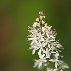 Foamflower in bloom by Karen Kaleta