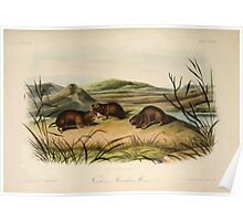 James Audubon - Quadrupeds of North America V3 1851-1854  Northern Meadow Mouse Poster