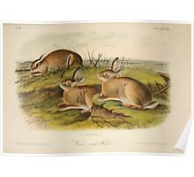 James Audubon - Quadrupeds of North America V2 1851-1854  Worm Wood Hare Poster