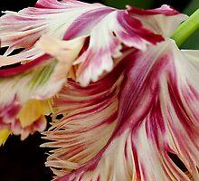 """Flaming Parrot"" - Parrot Tulip, Keukenhof Gardens by Alison Cornford-Matheson"