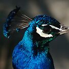 The colours of the peacock.. by Vincent Dimitrov