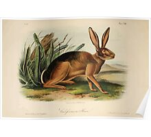 James Audubon - Quadrupeds of North America V3 1851-1854  Californian Hare Poster