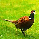 Pheasant #1 by Trevor Kersley