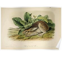 James Audubon - Quadrupeds of North America V2 1851-1854  Black Tailed Hare Poster