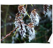 Willow Catkin Poster