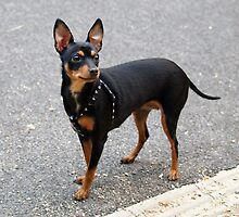 Adorable Pinscher-Miniature