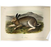 James Audubon - Quadrupeds of North America V1 1851-1854  Potar Hare Poster