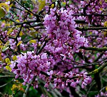 Judas tree bloom by Pluckyfilly
