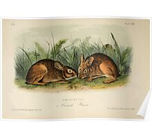 James Audubon - Quadrupeds of North America V1 1851-1854  Marsh Hare Poster
