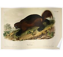 James Audubon - Quadrupeds of North America V1 1851-1854  Wolverine Poster