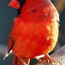 Cardinal by Bine