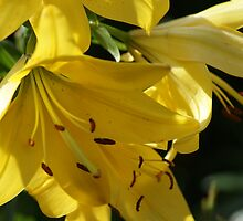 Lily - yellow delight! by Ruth Lambert