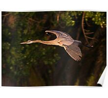 050809 Great Blue Heron Poster
