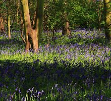 Bluebells on a lovely spring day by Paul Bettison