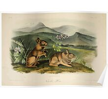 James Audubon - Quadrupeds of North America V2 1851-1854  Nuttall's Hare Poster