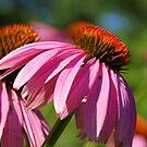Cone Flower by rabeeker