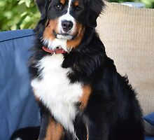 Fluffy Bernese Mountain Dog by welovethedogs