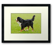 Well-trained Bernese Mountain Dog