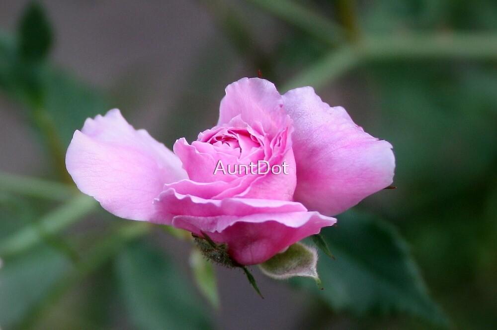 Tiny Pink Rose by AuntDot