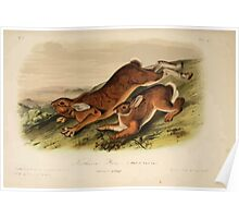 James Audubon - Quadrupeds of North America V1 1851-1854  Northern Hare Summer Pelage Poster