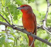 Hepatic Tanager by tomryan