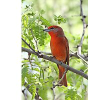 Hepatic Tanager Photographic Print