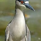 Black Capped Knight Heron Portrait by imagetj