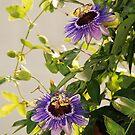 Purple Haze Passifloras by jojobob