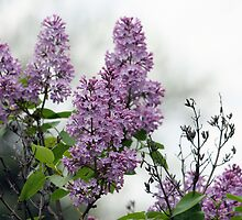 THE BEAUTY OF LILAC's by cdudak