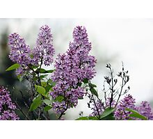 THE BEAUTY OF LILAC's Photographic Print