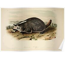 James Audubon - Quadrupeds of North America V1 1851-1854  American Badger Poster