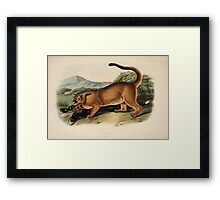 James Audubon - Quadrupeds of North America V2 1851-1854  Cougar Male Framed Print