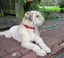 Beautiful Soft Coated Wheaten Terrier