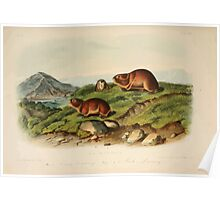 James Audubon - Quadrupeds of North America V3 1851-1854  Tawny Lemming Back's Lemming Poster