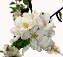 Apple Blossom in My Garden by Dennis Melling