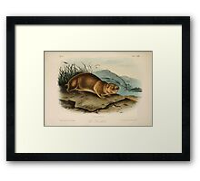 James Audubon - Quadrupeds of North America V3 1851-1854  Sewellel Framed Print