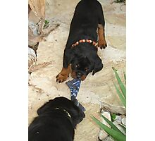 Rottweiler 'Tug of Love' Photographic Print