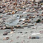 Piping Plover by Gail Falcon