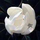 Magnolia by MichelleR
